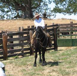 Alan at calf-Branding with Friesian Horse